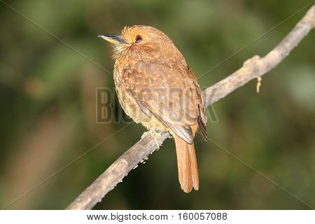 White-whiskered Puffbird female perched on a tree branch showing her clear red eye to the camera