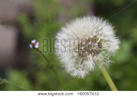 Close up of a Dandelion flower with a green background