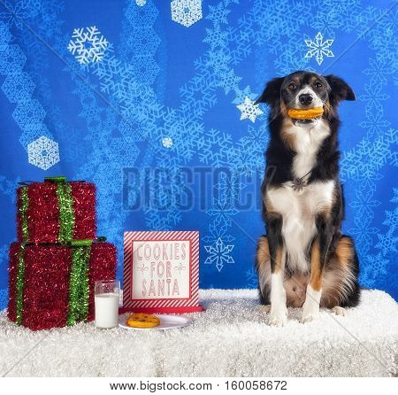 Border Collie holding cookie in mouth with a Christmas sign.
