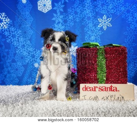 Border Collie puppy with tinsel wrapped around his body.