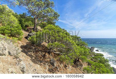 Relict pine trees on the hillside. The Black Sea coast. Crimea September.