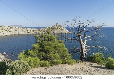 Two relict pine live and dead standing together on a quiet bay. The Black Sea coast Crimea September.