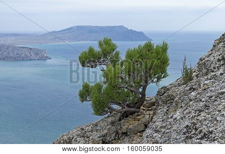 Small relict pine tree on a rocky cliff on the background of the sea. Mount Falcon (Kush-Kaya) Crimea. September cloudy.