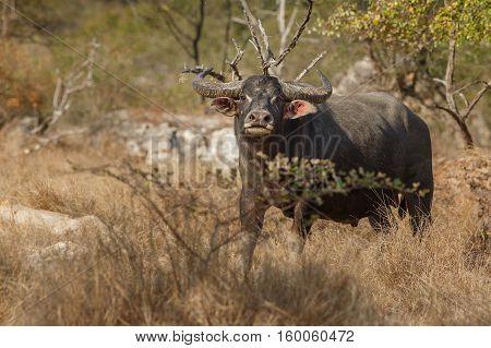 Asian water buffalo on rinca island in indonesia