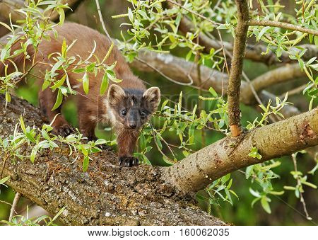 Marten passes over a fallen tree on the other side of the Channel spring in Poland. Horizontal view.