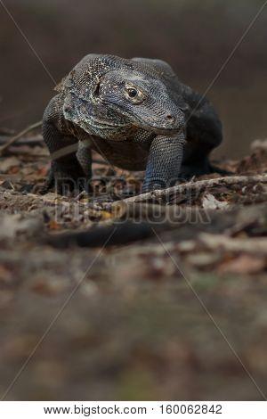 Gigantic komodo dragon in the beautiful nature habitat on a beautiful island in Indonesia