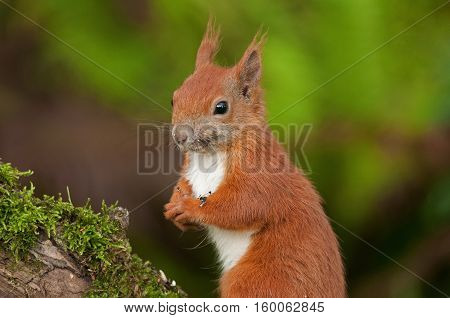 Eurasian red squirrel (Sciurus vulgaris) sitting on a mossy tree trunk in summer and eats sunflower seeds.Portrait close horizontal view.