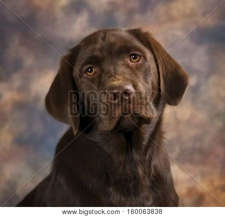 Chocolate Lab puppy sitting against a brown back drop.