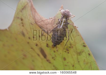 Insect Molting on The Lotus Flower with selective and soft focus.