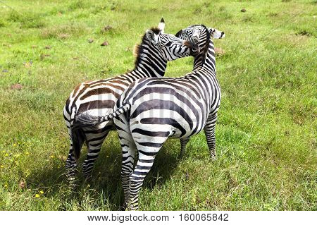 Mom zebra and her foal graze on lush meadows in Ngorongoro Crater Conservation Area, Tanzania. East Africa
