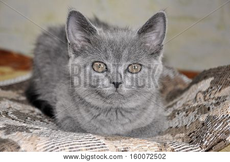 British Shorthair cat is laying on the bad and looking forward