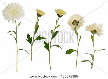 Set of white aster flowers solated on white