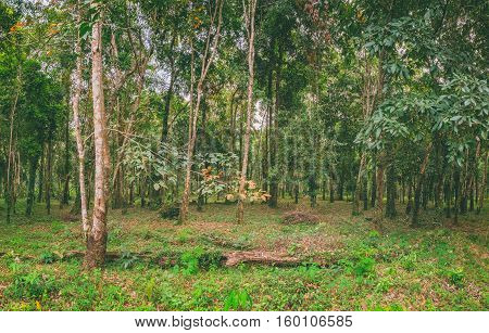 Panoramic view of rubber plantations on Koh Chang Thailand. Hevea brasiliensis is one of the most economically important rubber tree. Natural background.