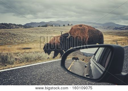 American Bison On A Road Seen From Car Driver Seat.