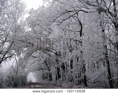view on the frozen trees in a forest in the Czech Republic