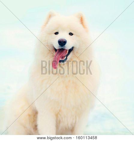 Portrait Happy Winter White Samoyed Dog Sitting On Snow