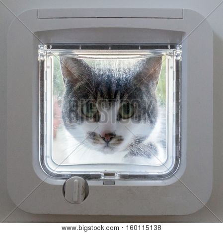 Cat outside peeking through closed cat flap