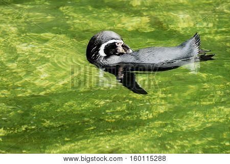 Humboldt Penguin, Spheniscus humboldti, Chilean penguin, Peruvian penguin patranca