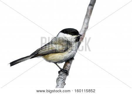 Tit on a white background. Bird titmouse on a branch. Beautiful winter birds.