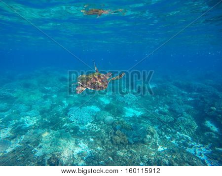 Sea turtle in blue water of tropical lagoon. Green turtle swimming underwater close photo. Wild animal of tropical sea. Oceanic rare species. Snorkeling photo with turtle. Tortoise reptile undersea
