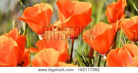 California Poppy - Eschscholzia californica, Santa Clara County, California, USA