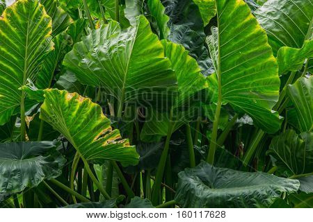 abstract background of big green Leaves (Araceae)
