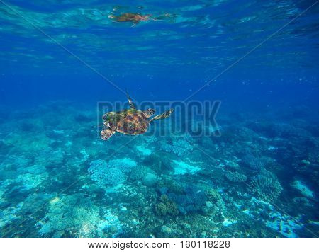 Sea turtle in blue water of tropical lagoon. Green turtle swimming underwater close photo. Wild animal of tropical sea. Oceanic rare species.