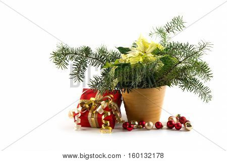 Potted Christmas poinsettia (Euphorbia pulcherrima) a symbolic plant with white bracts decorated with fir branches baubles and a red gift isolated on a white background