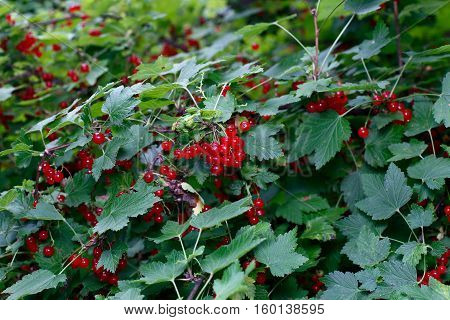 Berries of a red currant on the branches of a bush in the garden