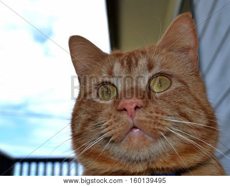 Ginger cat staring off into the distance