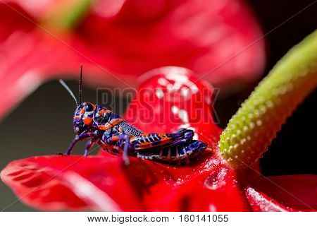 The bicolor grasshopper, also known as the barber pole grasshopper, is a species of insect. It is native of America and Mexico. Here it is sitting on a red Anthurium like a Christmas decoration.