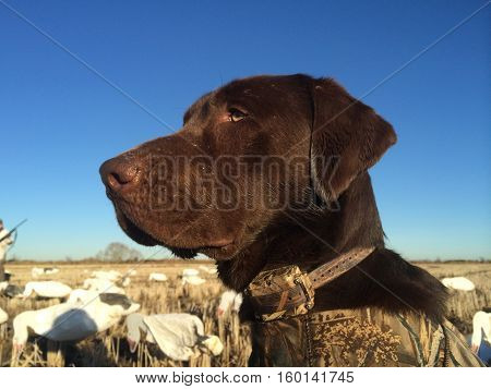 Majestic black lab set up for a goose hunt in South Texas