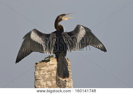 Male Anhinga Calling As It Spreads Its Wings To Dry