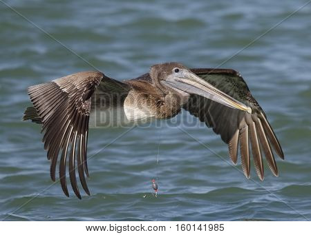 Immature Brown Pelican With A Fishing Line Around Its Neck - Florida