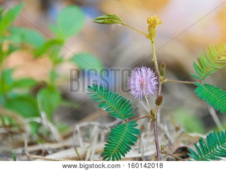 Beautiful violet/purple flowers mimosa pudica sensitive plant, Touch-Me-Not plant in morning mist. sleepy plant or shy plant. macro photography
