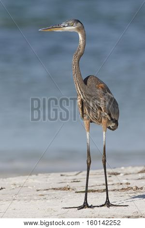 Great Blue Heron Standing On A Beach - Florida