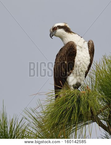 Osprey Perched In A Pine Tree - Melbourne, Florida