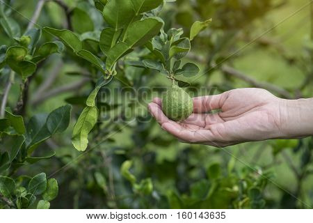 Woman hand holding bergamot on tree, close up