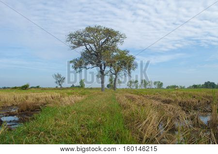 Fields in Thailand After the harvest, leaving only a stump.