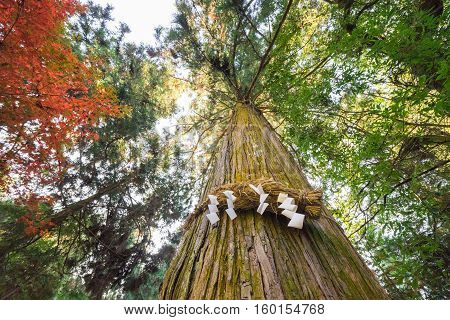 Divine Tree (a Yorishiro In Shinto Terminology Is An Object Capable Of Attracting Spirits Called Kam
