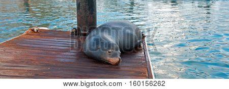 California Sea Lion on marina boat dock in Cabo San Lucas Mexico