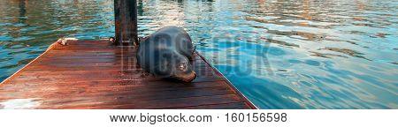 California Sea Lion on marina boat dock in Cabo San Lucas Baja Mexico BCS