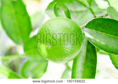 Lime tree with fruits in the garden.