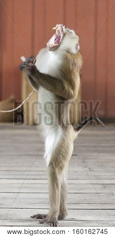 A trained circus monkey monkey on stage. Circus performance Macaque sings