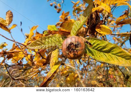 Ripe common medlar fruit with blue sky in the background