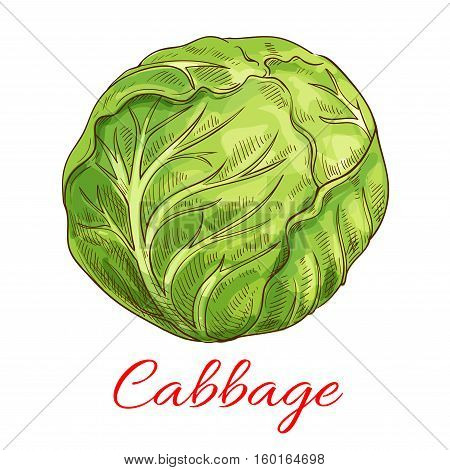 Cabbage vegetable icon. Vector isolated sketch vegetable object. Vegetarian and vegan cuisine. Whole veggie leafy kale cabbage. Symbol for grocery store, farmer market. Vegetables ripe farming harvest