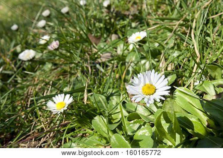 Bellis perennis growing on grass. It is a common European species of daisy