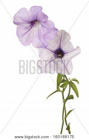 Petunia Flower Isolated