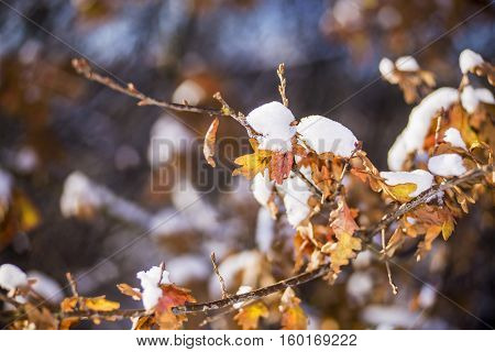 Close view of an oak tree branch with dried yellow and brown leafs under snow