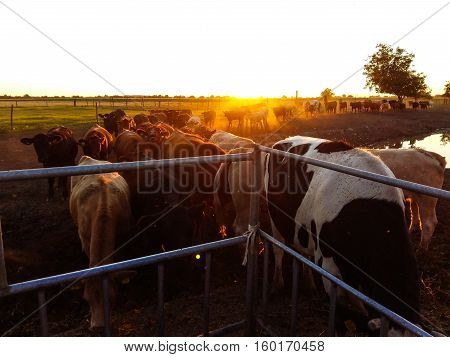 Cows at sunset coming back from pasture to the feeding spot